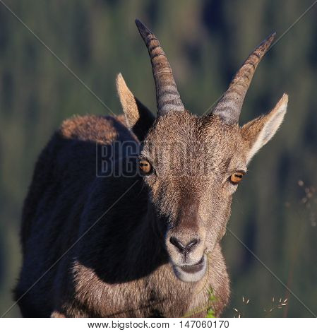 Head of a female alpine ibex. Front view. Wild animal living in the Alps. Photographed on Mt Niederhorn.