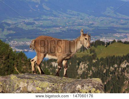 Wild animal living in the alps. Little alpine ibex baby photographed on Mt Niederhorn Switzerland.