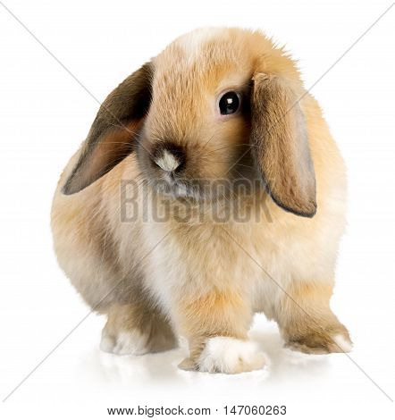 Lop Eared Rabbit looking to the side