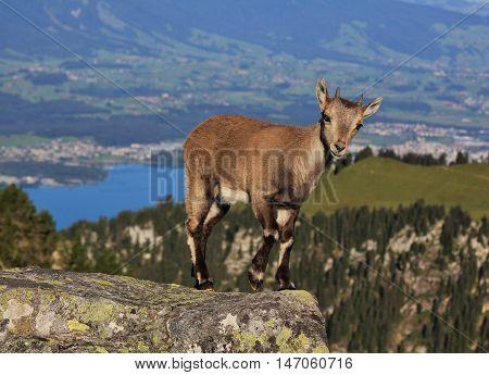 Alpine ibex baby photographed on Mt Niederhorn Swiss Alps.