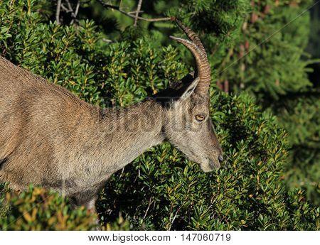 Wild animal living high up in the Alps. Female alpine ibex.