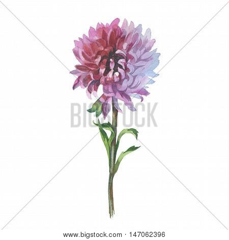 Wildflower flower chrysanthemum in a watercolor style isolated. Full name of the herb: chrysanthemum, dahlia. Aquarelle flower could be used for background, texture, pattern, frame or border.
