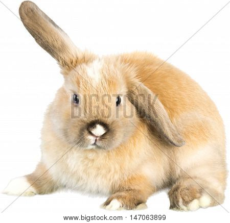 Lop Eared Rabbit with one ear up