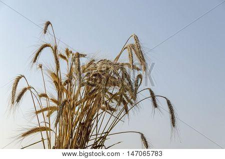 Sheaf ear of wheat  in background from sky, Zavet, Bulgaria