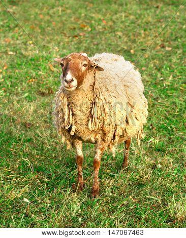 one sheep in the green field, farmland