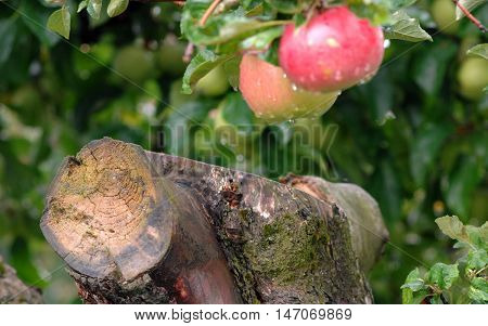 Picture of an Apples on a pruned tree after the rain