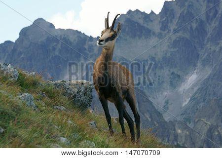Tatra Chamois ( Rupicapra rupicapra tatrica )