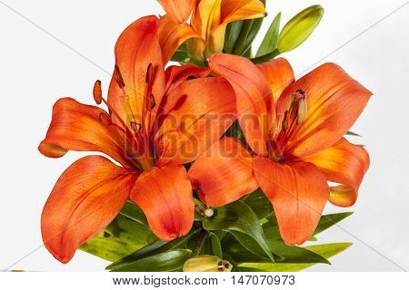 Vivid Orange Asian Lilies On Green Stems