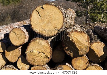 Timber of coniferous stack in a mountain
