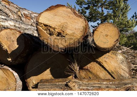 Timber of coniferous in a mountain in Bulgaria