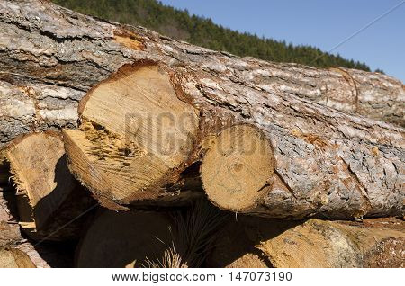 Timber in Bulgarian mountain. Deforestation in the winter