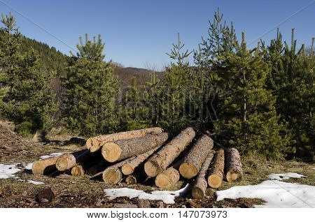 Coniferous timber in a mountain during the winter