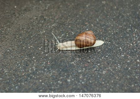 A small snail crawling on wet asphalt