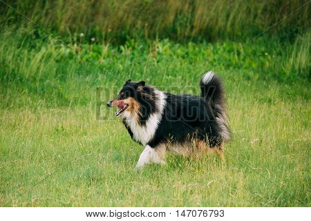 Shetland Sheepdog, Sheltie, Collie. Play Outdoor In Summer Grass At Evening. This Breed Of Herding Dog. They Are Vocal, Excitable, Energetic Dogs Who Are Always Willing To Please And Work Hard