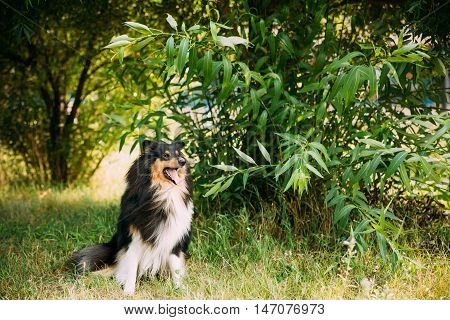 Staring To Camera Tricolor Rough Collie, Scottish Collie, Long-Haired Collie, English Collie, Lassie Adult Dog Sitting On Green Grass Summer Day.