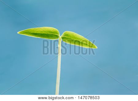 Growing Green Sprout Of Pepper On Light Blue Background. Spring Concept Of New Life. Agricultural Season