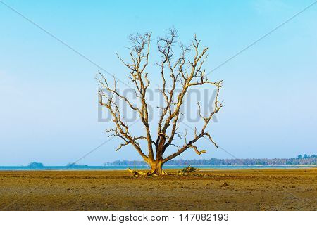 Dead tree stand alone on the beach