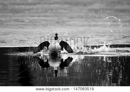Front view of Common goldeneye (Bucephala clangula) drake running near ice edge in pond in spring. Moscow region Russia