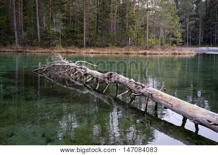 Forest and source. Blue spring lake and old tree stump fallen into water. Natural environment. Äntu Sinijärv Estonia Europe