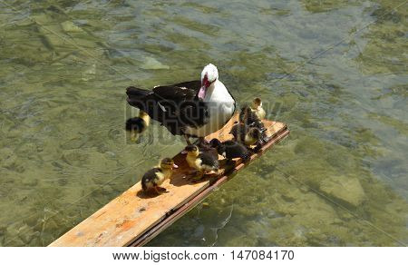A mother duck and her ducklings on a plank of wood over the river Bregava in Stolac southern Bosnia
