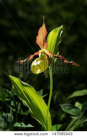 Lady's Slipper Orchid flower. Yellow with red petals blooming flower in natural environment. Lady Slipper blossom bloom. Cypripedium calceolus.