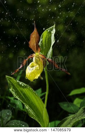 Ladys Slipper Orchid bloom in the rain. Blossom and water drops. Yellow with red petals blooming flower in natural environment. Lady Slipper Cypripedium calceolus.