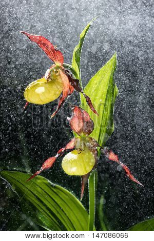Ladys Slipper Orchid bloom in the pouring rain like snowing. Blossom and water drops like snow. Yellow with red petals blooming flower in natural environment. Lady Slipper Cypripedium calceolus.
