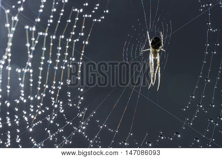 Spider and web. Cobweb and morning dew. Shining water drops on spiderweb. Gray background