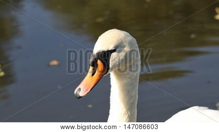 Swan head on the river in the evening