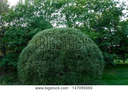 Topiary. Green bush trimmed into round shape. In background many bushes and tree. Decorated home garden. Natural environment.