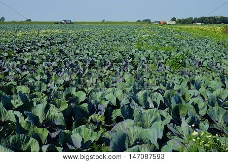 Vegetable field with cabbage plants under blue sky