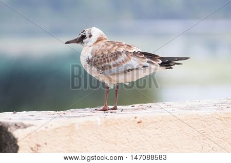 A beautiful light brown juvenile gull is sitting on a fence.