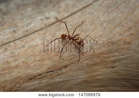 Leafcutter ant (Atta sexdens). Wildlife animal.