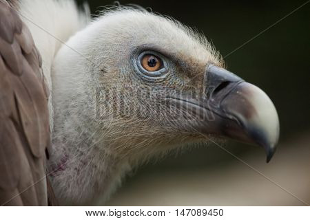 Griffon vulture (Gyps fulvus). Wildlife animal.