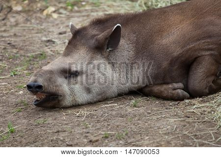South American tapir (Tapirus terrestris), also known as the Brazilian tapir. Wildlife animal.
