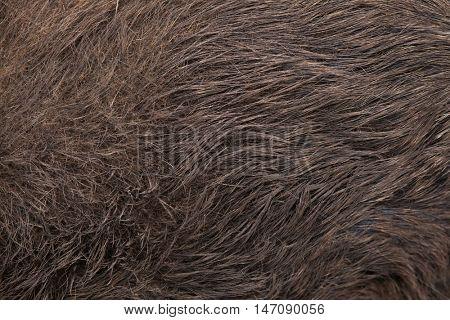 Wild boar (Sus scrofa). Skin texture. Wildlife animal.