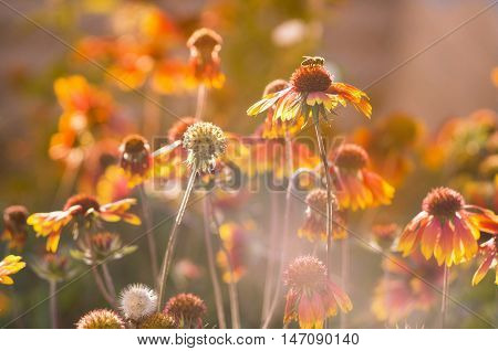 Lots of beautiful echinacea flowers in the garden on the sunset. Toned image.