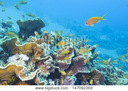 Colorful coral reef with shoal of fishes scalefin anthias in tropical sea underwater.