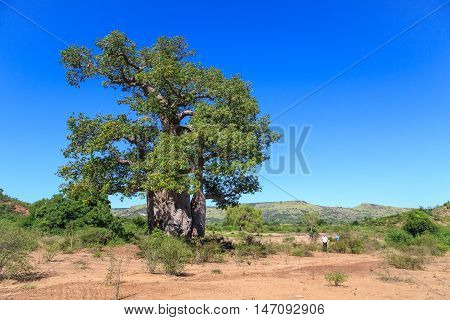 Baobab Tree With Green Leaves In An African Landscape With Clear Blue Sky