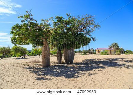 Baobab Trees In An African Landscape With Clear Blue Sky In A Village In African Landscape