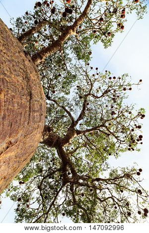 Baobab Tree Seen From Below Looking Up To The Branches