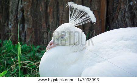 white peacock, albino peacock, peacock a sleep