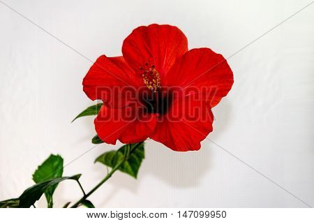 Red hibiscus flower with a pestle stamens and green leaves on a light background