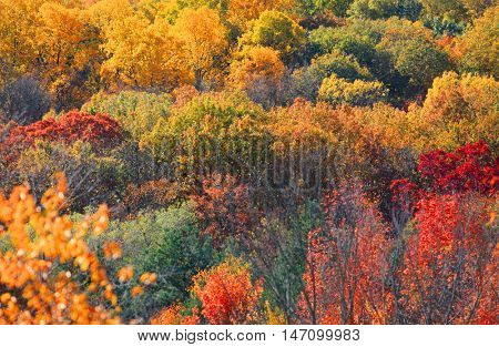 Canopy of bright color autumn trees in West Virginia