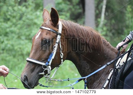 Endurance horse portrait at a grooming point