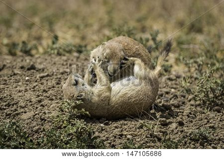 Prairie Dogs Paying in Badlands National Park South Dakota