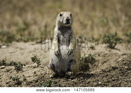 Standing Prairie Dog in Badlands National Park South Dakota