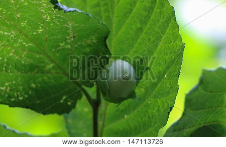 Green hazelnuts on a branch and tree leafs in summer garden.