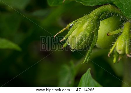 Young Tomatoes On Vine In Backyard Garden