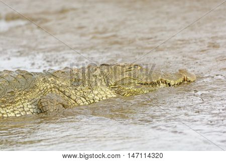 Head View of a Mugger Crocodile on the Kabini River in Nagarole National Park in India